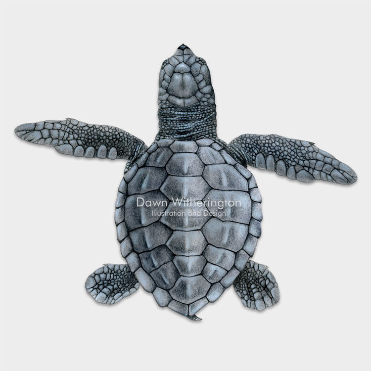 This beautiful dorsal illustration of a hatchling olive ridley sea turtle, Lepidochelys olivacea, is biologically accurate in detail.