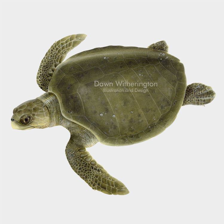 This beautiful illustration of a swimming olive ridley sea turtle, Lepidochelys olivacea, is biologically accurate in detail.