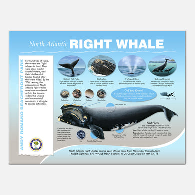 This beautifully illustrated educational display describes and identifies the right whales that may be seen from Andy Romano Beachfront Park, Ormond Beach, Florida.