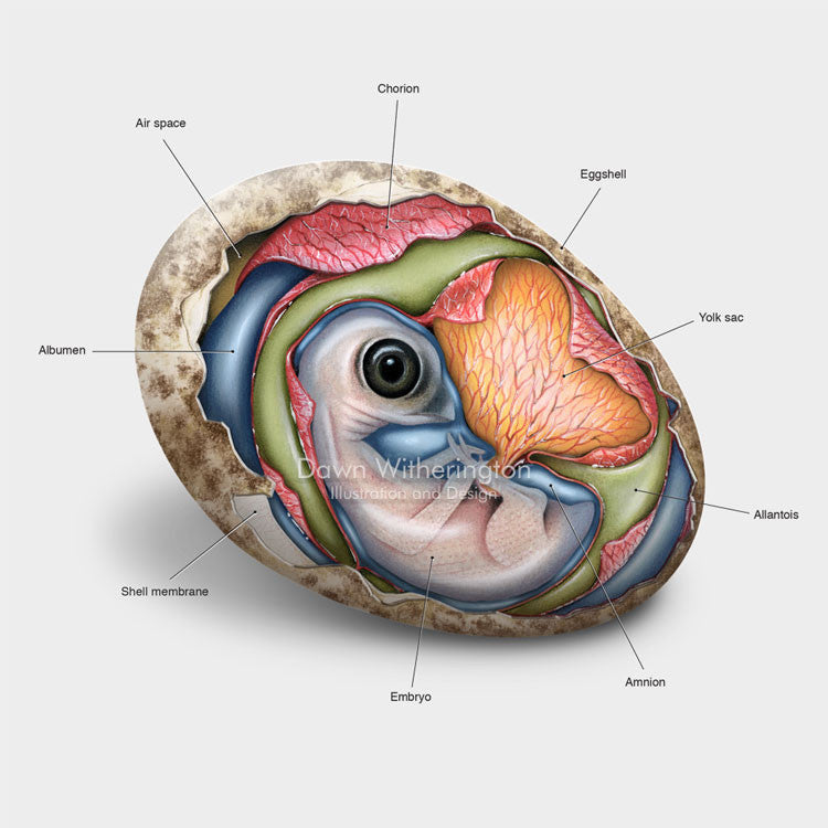 This beautiful illustration of an osprey, Pandion haliaetus, embryo is biologically accurate in detail.
