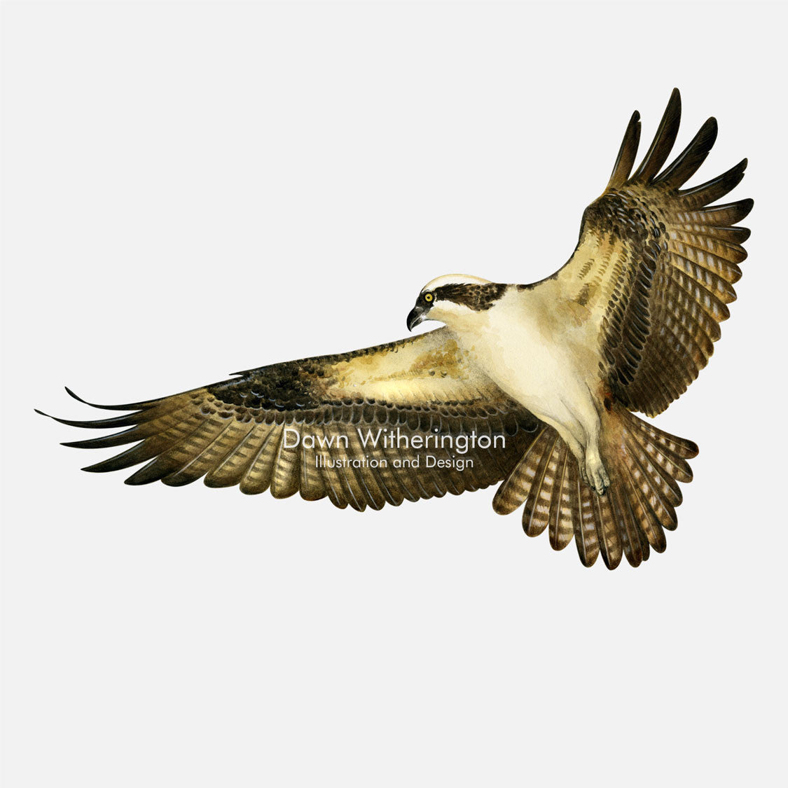 This beautiful illustration of an osprey, Pandion haliaetus, in flight, is biologically accurate in detail.