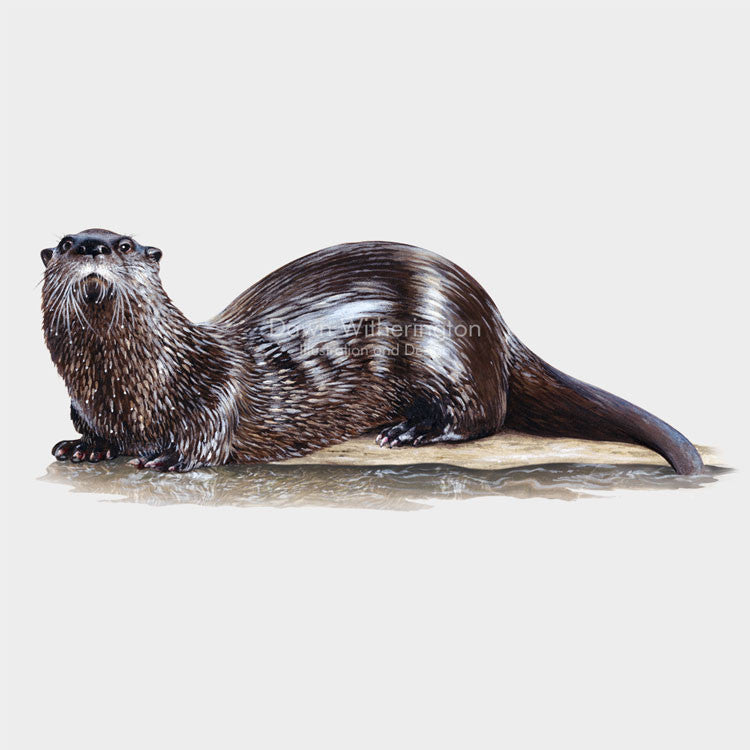 This is a lovely illustration of a North American river otter, Lontra canadensis, with a shimmering wet coat.