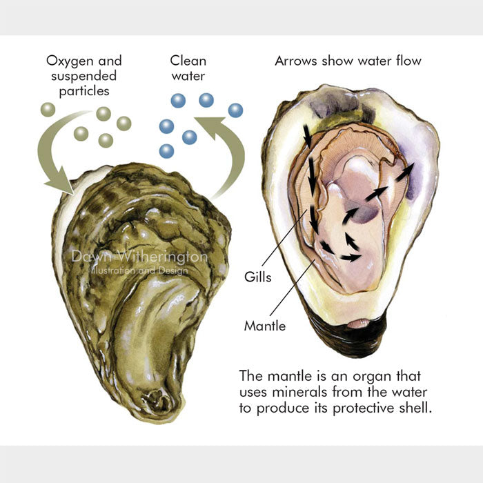 This graphic describes the filter feeding of an eastern oyster, Crassostrea virginica.