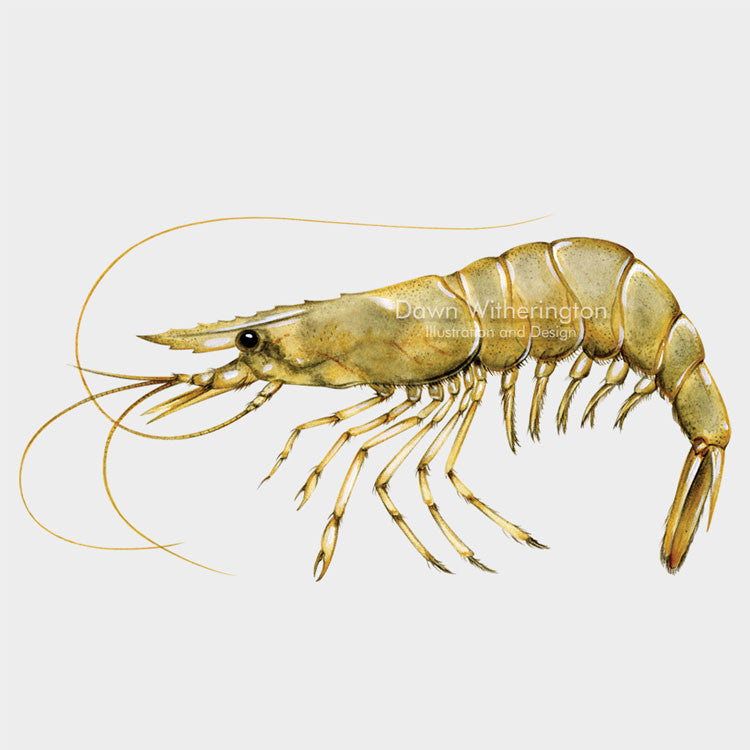 This beautiful drawing of a palemonid shrimp, family Palaemonidae, is biologically accurate in detail.