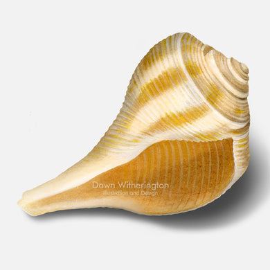 This beautiful illustration of a pear whelk shell, Busycon spiratum, is biologically accurate in detail.