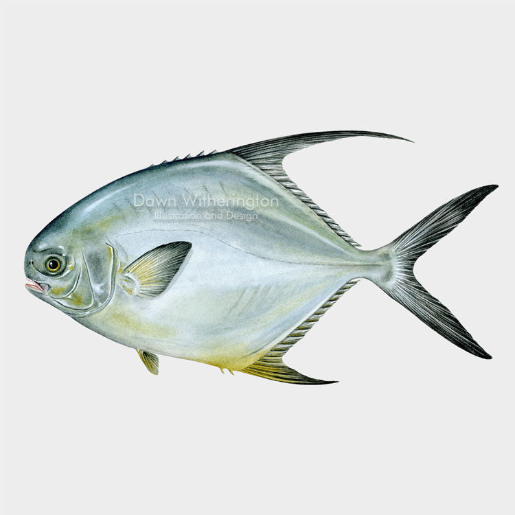 This lovely drawing of a permit, Trachinotus falcatus, is biologically accurate in detail.
