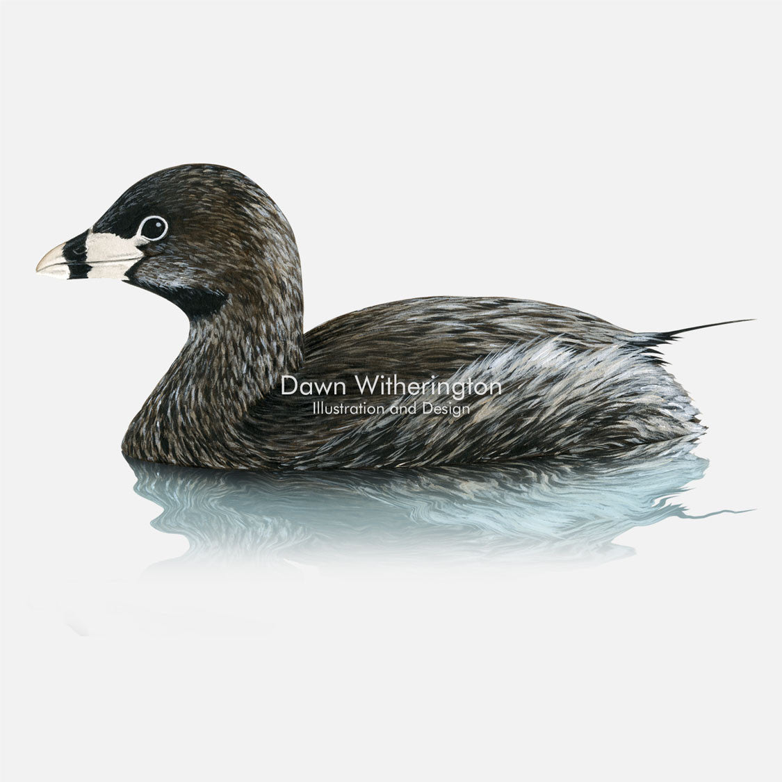 This beautiful illustration of a pied-billed grebe, Podilymbus podiceps, is biologically accurate in detail.