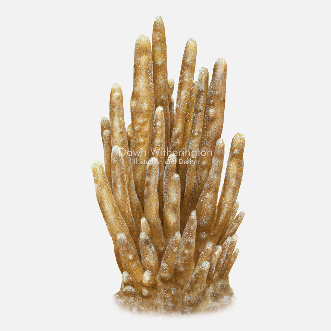 This beautiful illustration of lobed star coral, Dendrogyra cylindricus, is accurate in detail.