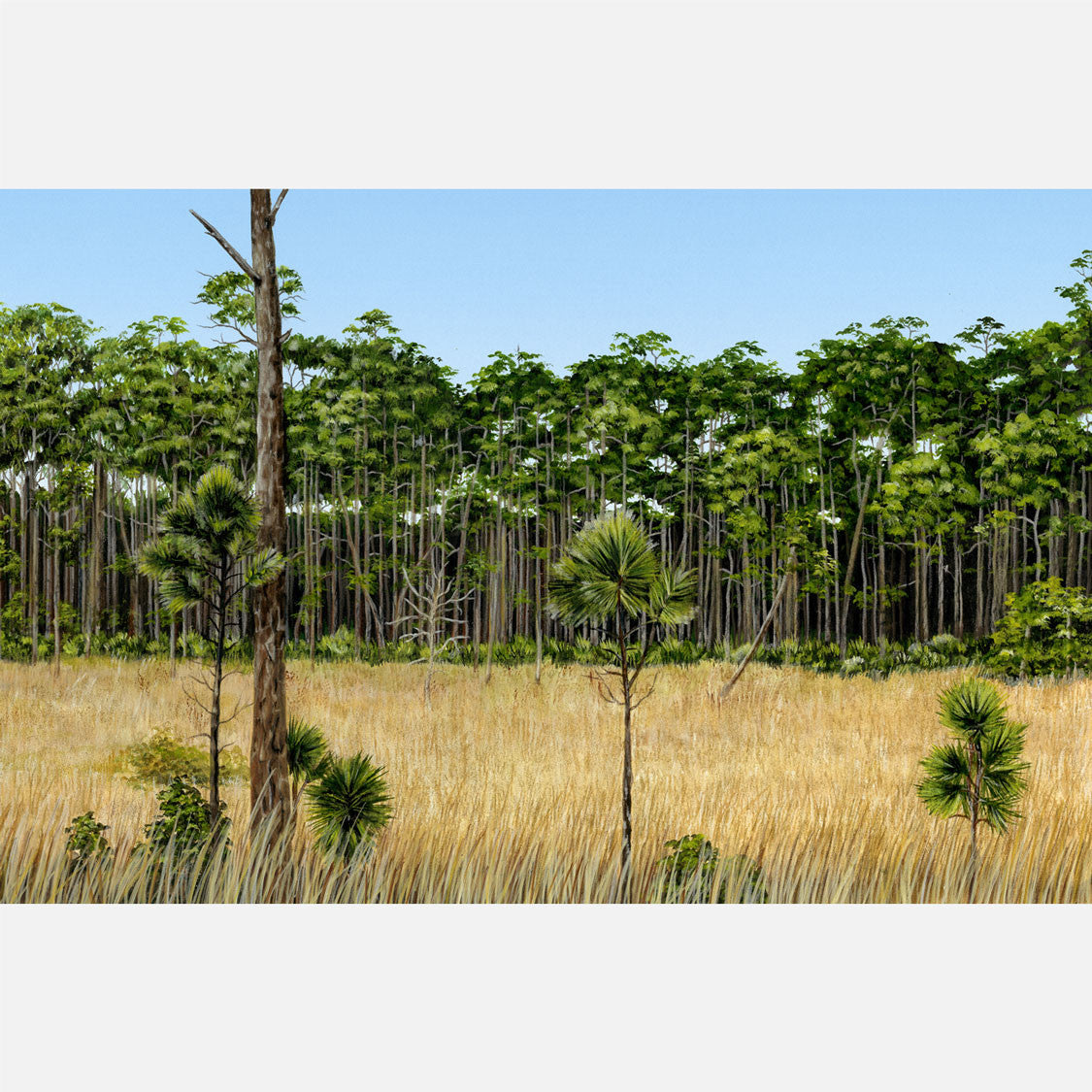 This beautiful, highly detailed illustration is of Florida pine flatwoods.