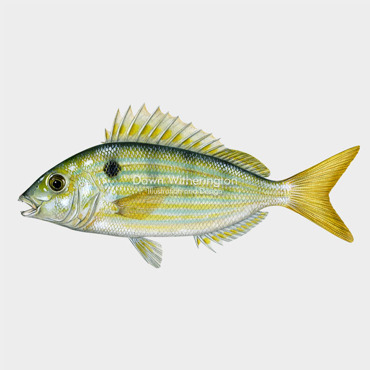 This beautiful illustration of a pinfish, Lagodon rhomboides, is biologically accurate in detail.