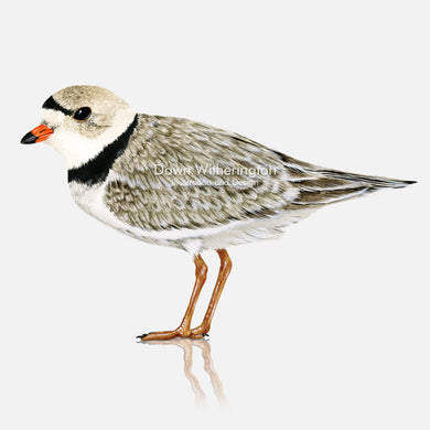 This beautiful illustration of a piping plover, Charadrius melodus, in breeding plumage, is biologically accurate in detail.