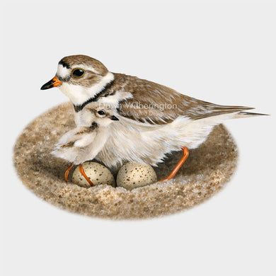 Nesting piping plover with eggs and chick