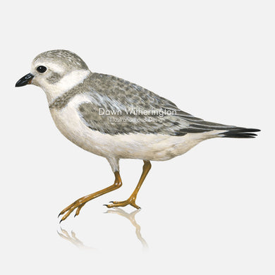 This beautiful illustration of a piping plove, Charadrius melodus, in winter plumage , is biologically accurate in detail.