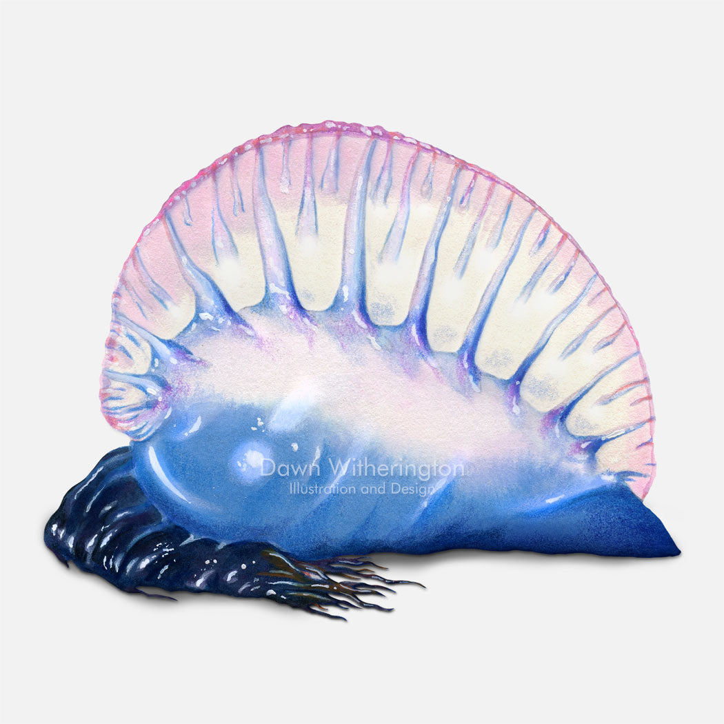 This beautiful illustration of a stranded Portuguese man-o-war, Physalia physalis, is accurate in detail.