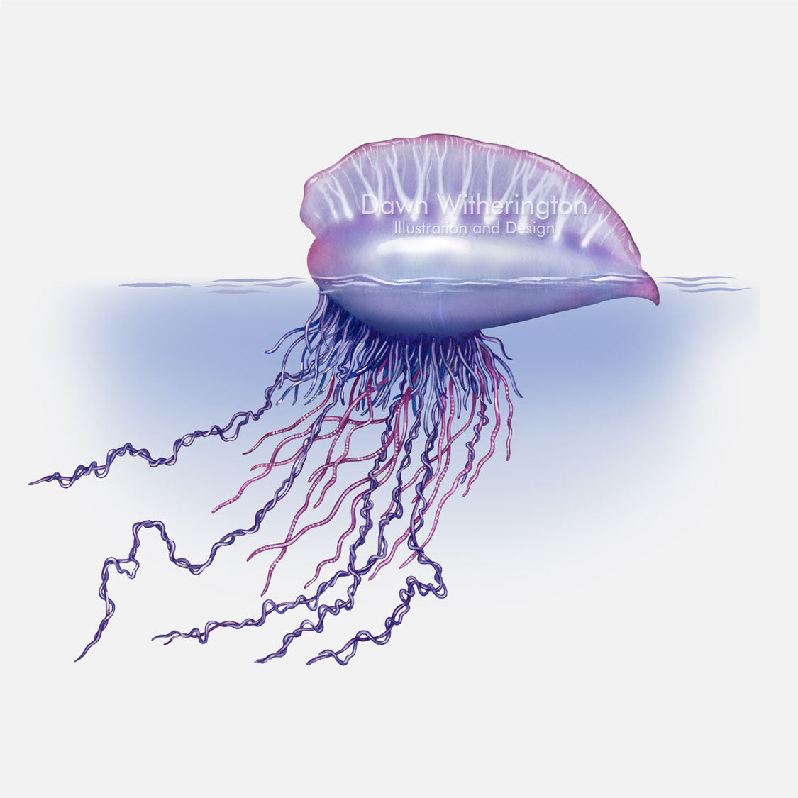 This beautiful illustration of a Portuguese man-o-war, Physalia physalis, is accurate in detail.