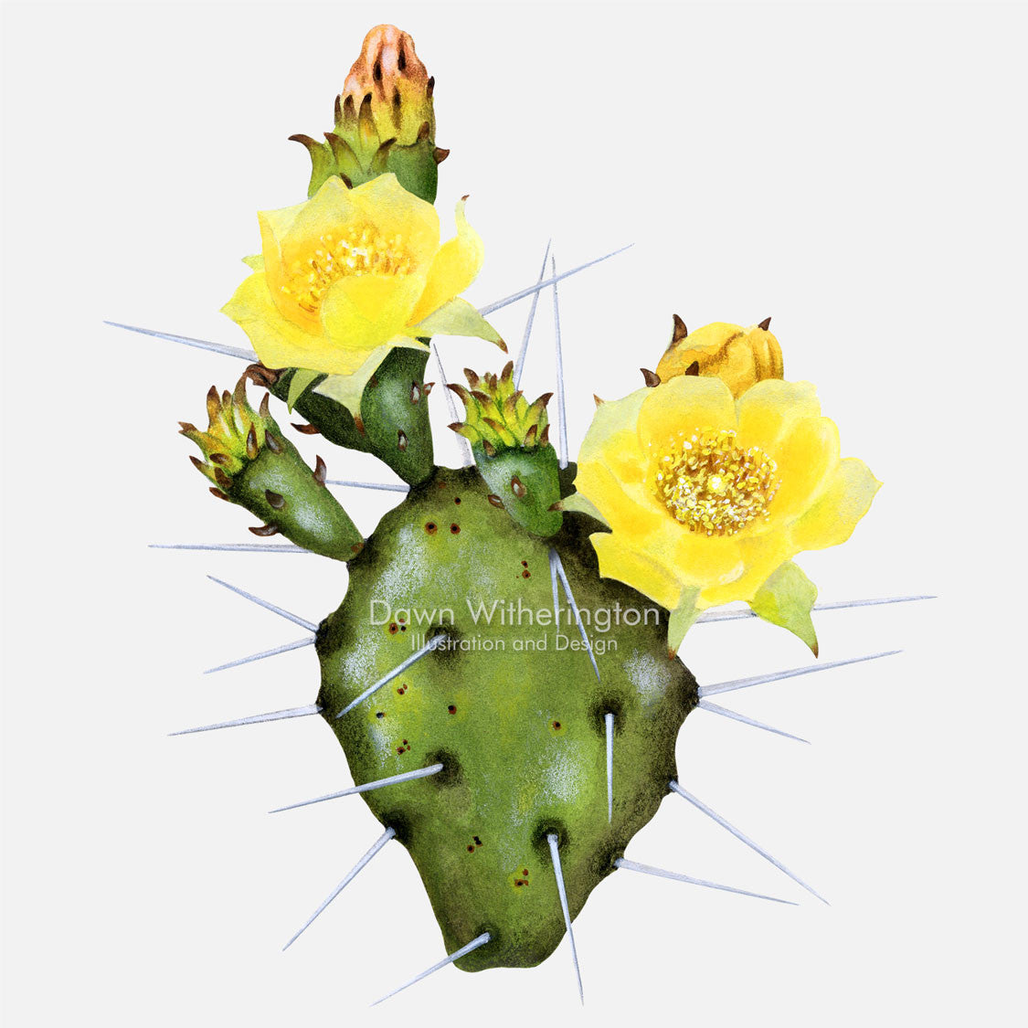 This beautiful illustration an eastern prickly pear cactus (devil's tongue), Opuntia humifusa, is botanically accurate in detail.