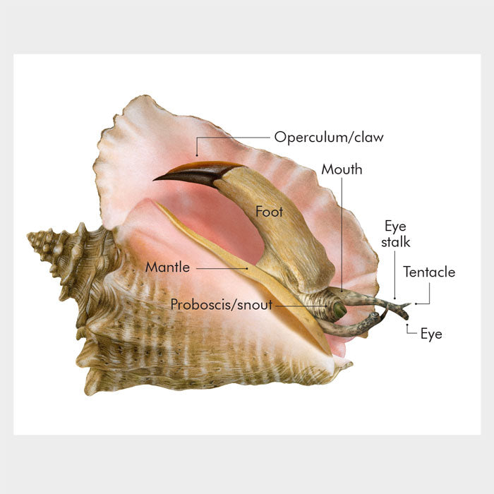 Queen conch anatomy