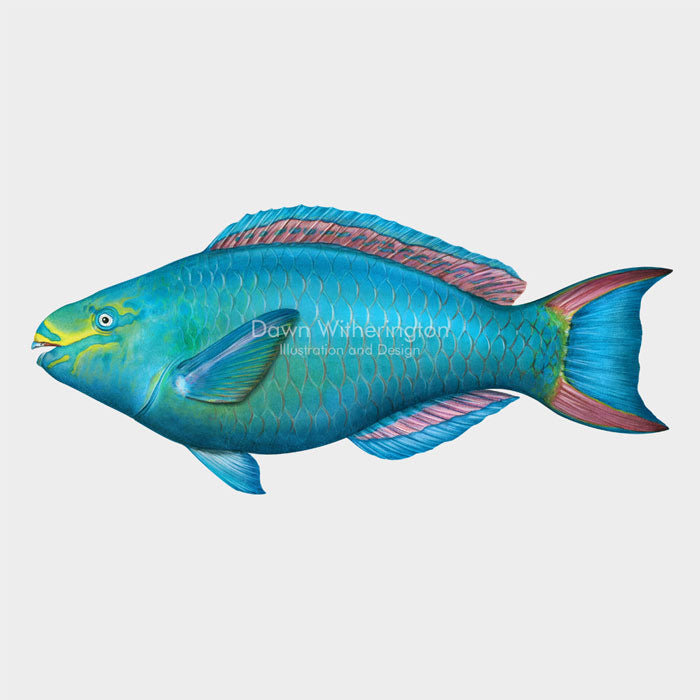 This beautiful Illustration of a supermale queen parrotfish (Scarus vetula), is biologically accurate in detail.