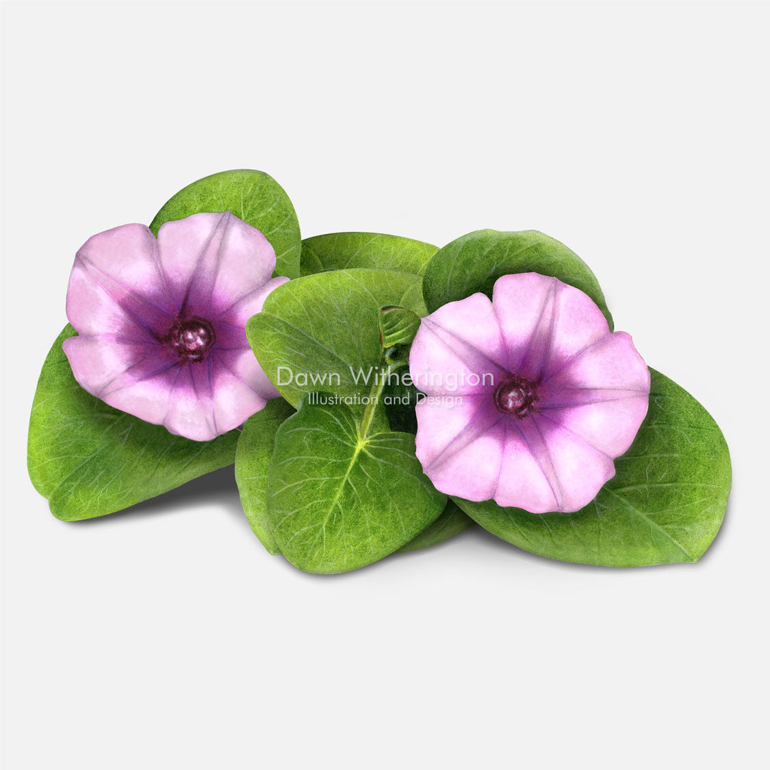 This beautiful illustration of railroad vine, Ipomoea pes-caprae, is botanically accurate in detail.