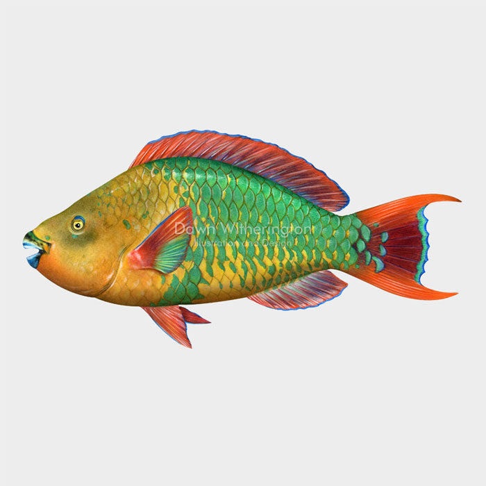 This beautiful Illustration of a supermale rainbow parrotfish (Scarus guacamaia), is biologically accurate in detail.