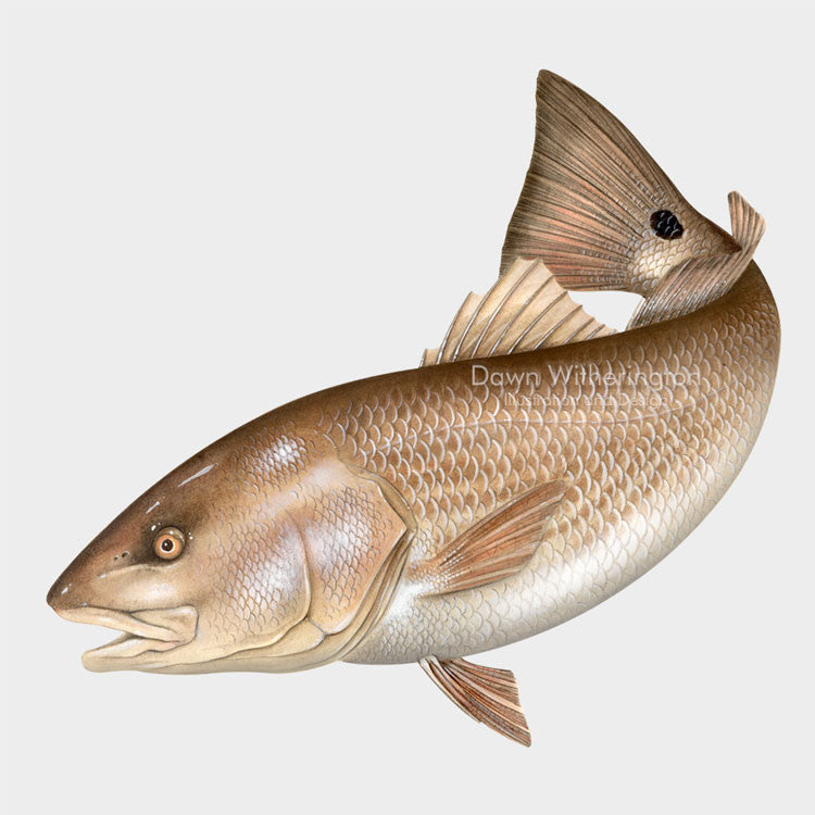 This beautiful drawing of a red drum (redfish), Sciaenops ocellatus, is biologically accurate in detail.