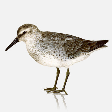 This beautiful illustration of a Red knot, Calidris canutus, in winter plumage, is biologically accurate in detail.
