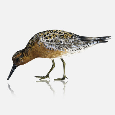 This beautiful illustration of a red knot, Calidris canutus, in breeding plumage, is biologically accurate in detail.