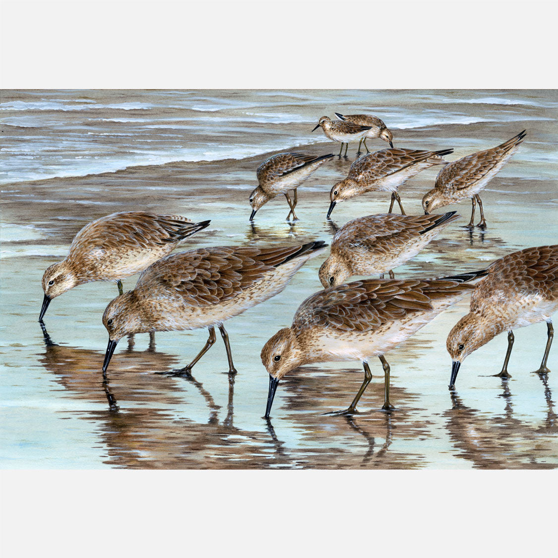 This beautiful illustration is of several red knots, Calidris canutus, foraging in the swash zone of the beach.