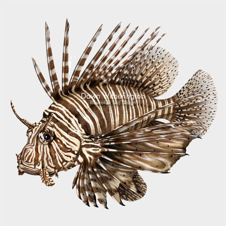 This beautiful illustration of  a red lionfish, Pterois volitans, is biologically accurate in detail.