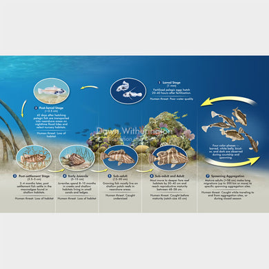 This graphic shows how grouper use reefs through their life stages.