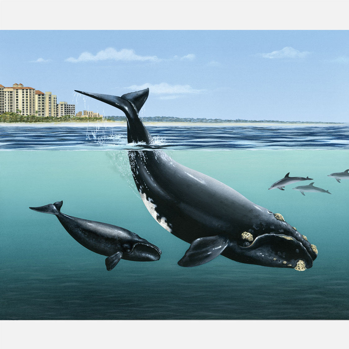 This illustration is of a North Atlantic right whale, eubalaena glacialis, with her calf  in their nearshore calving habitat.