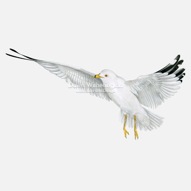 This beautiful illustration of a ring-billed gull, Larus delawarensis, is biologically accurate in detail.