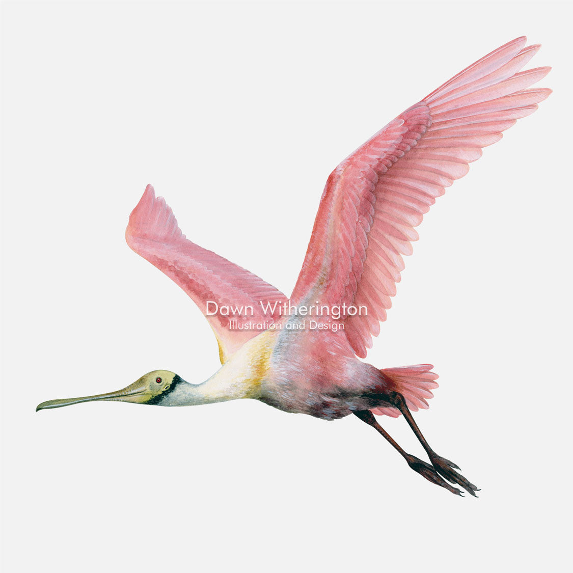 This beautiful illustration of a roseate spoonbill, Platalea ajaja, in flight, is biologically accurate in detail.