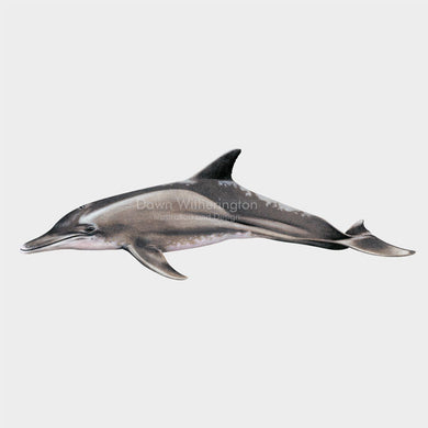 This illustration of a rough-toothed dolphin, Steno bredanensis, is biologically accurate in detail.