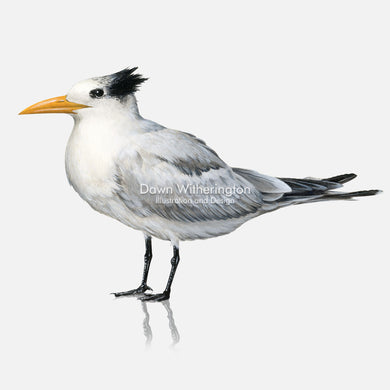 This beautiful illustration of a royal tern, Thalasseus maximus, is biologically accurate in detail.