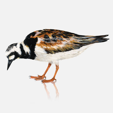This beautiful illustration of a ruddy turnstone, Arenaria interpres, is biologically accurate in detail.