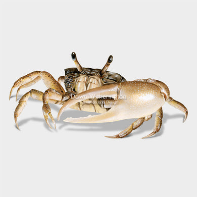 This beautiful illustration of a sand fiddler crab, Uca pugilator, is biologically accurate in detail.