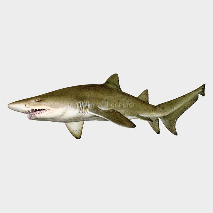This beautiful illustration of a sand tiger shark, Carcharias taurus, is biologically accurate in detail.