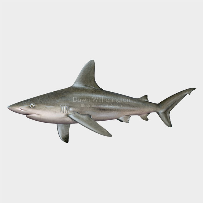 This beautiful illustration of a sandbar shark, Carcharhinus plumbeus, is biologically accurate in detail.
