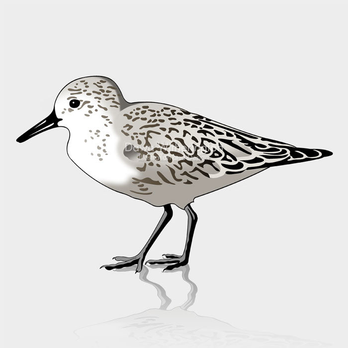 This is a cute graphic illustration of a sanderling (Calidris alba).