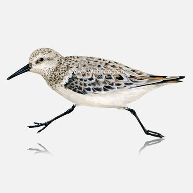 This beautiful illustration of a sanderling, Calidris alba, is biologically accurate in detail.