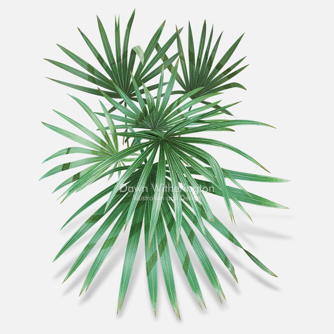 This beautiful illustration of saw palmetto, Serenoa repens, is botanically accurate in detail.