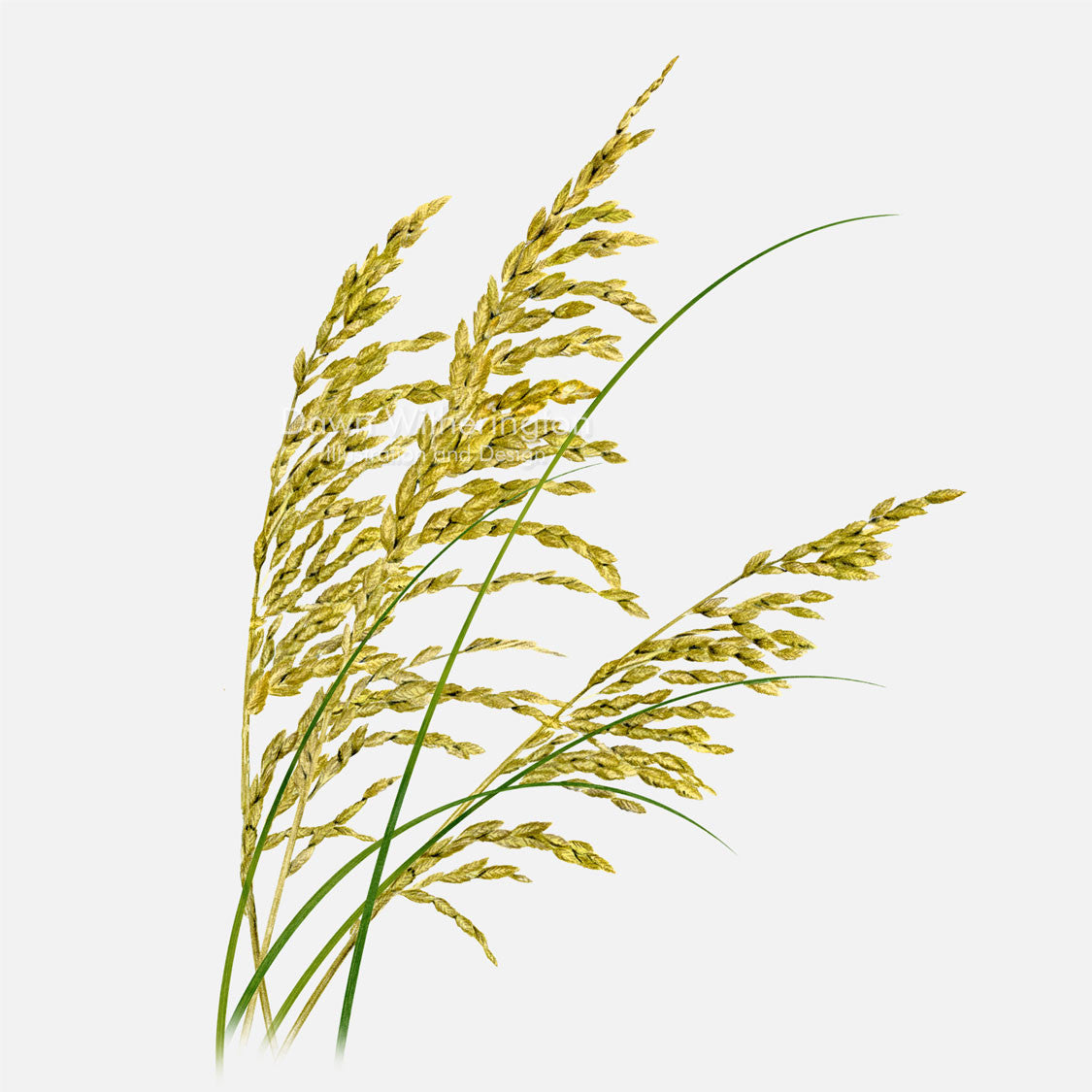 This beautiful illustration of seaoats, Uniola paniculata, is botanically accurate in detail.