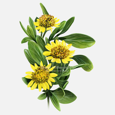 This beautiful illustration of bushy sea oxeye daisy, Borrichia frutescens, is botanically accurate in detail.