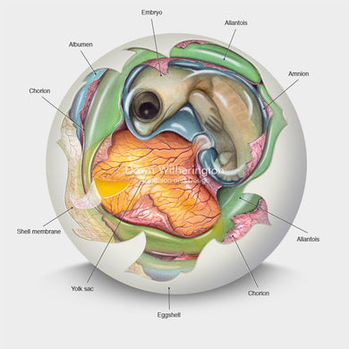 This cutaway illustration of a sea turtle embryo is biologically accurate in detail.