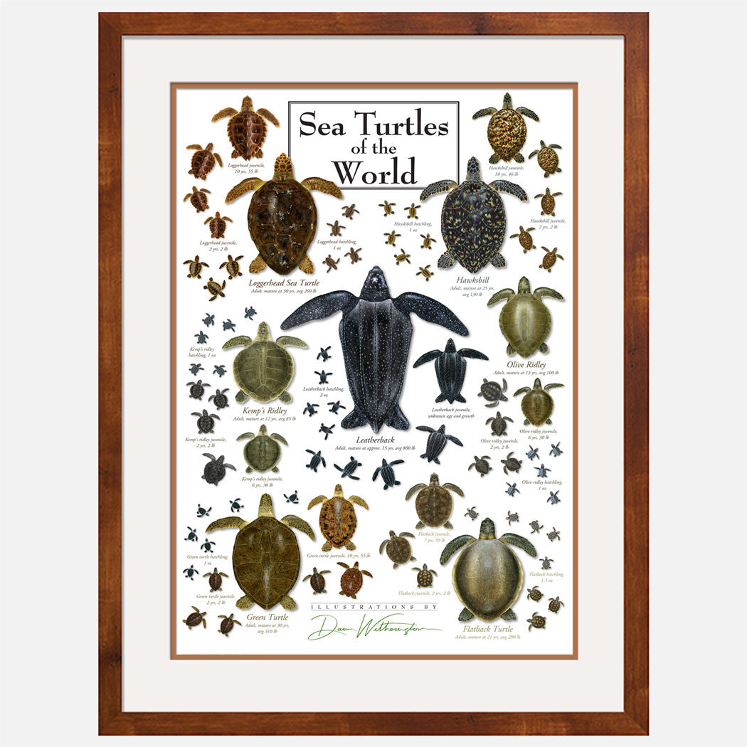This beautiful poster shows illustrations of the seven sea turtle species in several stages of development.