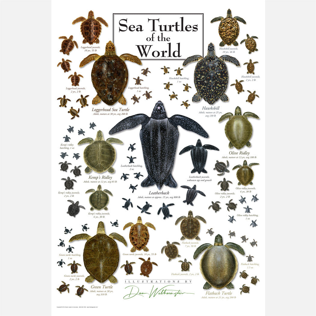 This beautiful poster has illustrations of the seven sea turtle species of the world in several stages of development.