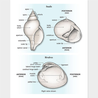 This illustration of seashell anatomy is accurate in detail.