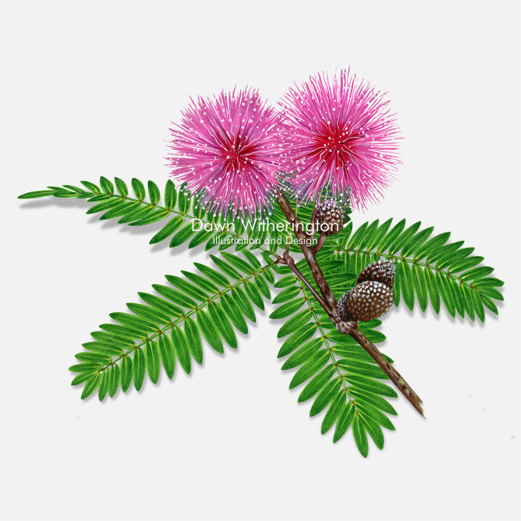 This beautiful illustration of sensitive mimosa (sunshine mimosa, powderpuff) (Mimosa strigillosa)  is botanically accurate in detail.