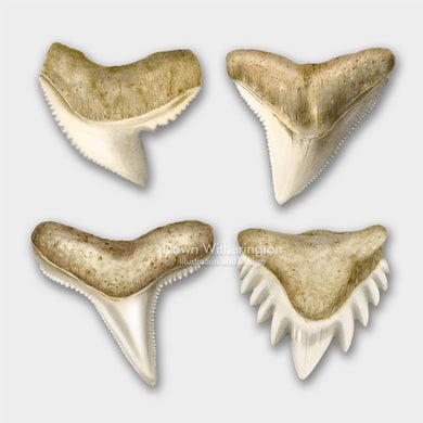 This lllustration of a shark teeth, tiger shark (Galeocerdo cuvier), bull shark (Carcharhinus leucas), blacktip reef shark (Carcharhinus melanopterus), nurse shark (Ginglymostoma cirratumused), is accurate in detail.
